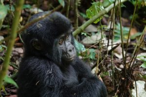 Will Uganda lose all forests until 2050?